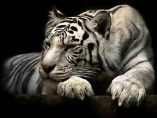 "BLACK AND WHITE BEAUTIFUL TIGER ANIMALS  Large Wall Art Canvas Pic 20""x30"""