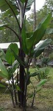 50 Seeds - Musa balbisiana  'Atia Black' (Thai Black)