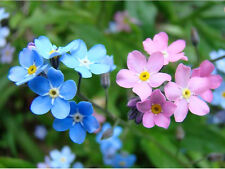 Alpine Forget Me Not MIX - 320 Semi-Fiore-MYOSOTIS ALPESTRIS