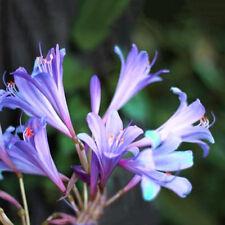 2 Pcs Purple Amaryllis Bulbs Beauty Bonsai Flowers Home Garden Viewing Decor