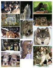 WOLF PHOTO-FRIDGE MAGNETS (12 IMAGES)
