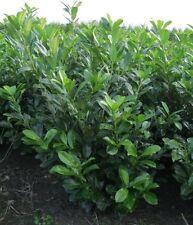 Kirschlorbeer Novita 120-140cm inkl. Versand 20 Heckenpflanzen 300,- Euro.