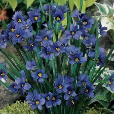 Blue eyed Grass - 100 Seeds, (Sisyrinchium bellum)-Perennial ,Ornamental Grass