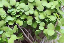 10,000+ Microgreens (Sprouting) Seeds- Red Salad Bowl- Non-GMO