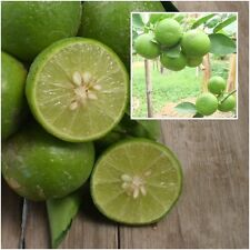 Citrus aurantiifolia 50 Seeds, Lime Seeds, Fruit Tree Tropical From Thailand