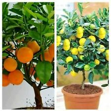 bonsai plant Orange and lemon,Heirloom Fruit each 5 seeds,Home Bonsai plant