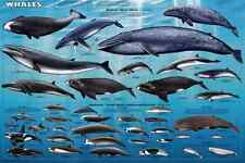 *NEW* Educational Children's WHALES - Chart Wall Poster