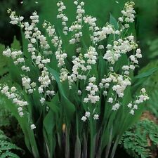 Pk x3 Convallaria Majalis Lily of the Valley Perennial XXL Supersize Plug Plants
