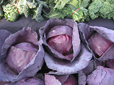 A 1g (approx.350)dark red cabbage seeds CABEZA NEGRA low calorie Italian variety