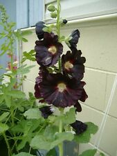 50+  DANISH BLACK HOLLYHOCK FLOWER SEEDS