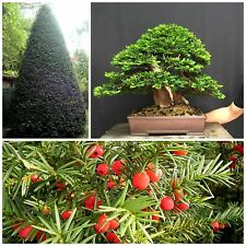 50 seeds of Taxus baccata,Tasso baccata, bonsai seeds  C