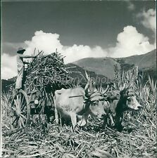 1938 Farmer in Chile with Full Cart Original News Service Photo