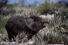 563003 Collared Peccary javelina Yawning Amid Flowering Cacti A4 Photo Print