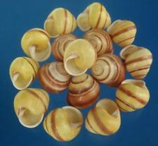 00565-69 Craft shells Landsnail - Helicostyla annulata, 25 pcs