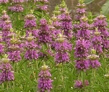 LEMON MINT BEE BALM Monarda Citriodora - 5,000 Bulk Seeds