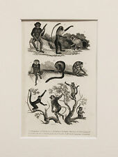 1830s Antique Natural History Print - Mounted - Primates, Monkeys
