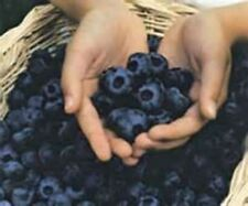 CHANDLER BLUEBERRY SEEDS! BIG BOYS!  COMBINED S/H! SEE OUR STORE FOR RARE SEEDS!