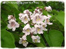 Catalpa bignonioides 'Indian Bean Tree' 50+ SEEDS