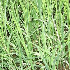 1000 Rice Cut Grass Native Grass Seeds - Gold Vault Jumbo Seed Packet