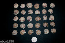 30 Small Sundial seashells