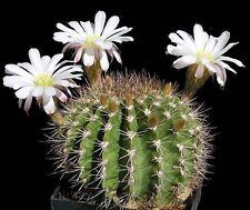 Flower - Cactus - Acanthocalycium klimpelianum - 20 Seeds