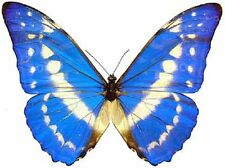 ONE REAL BUTTERFLY BLUE PERUVIAN MORPHO CYPRIS PAPERED UNMOUNTED WINGS CLOSED