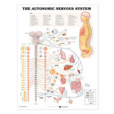 THE AUTONOMIC NERVOUS SYSTEM POSTER (66x51cm) ANATOMICAL CHART NEW EDUCATIONAL