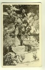 tp4289 - Scilly Isles - Giant Cactus at Tresco  - Postcard
