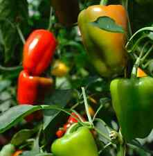Sweet Chili Pepper seed Heirloom Color Bell pepper Mixed Colors Vegetable