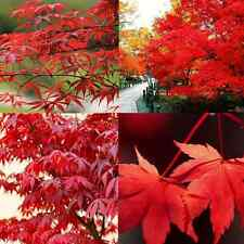 lots 10PCS JAPANESE MAPLE TREE Acer Palmatum Red Maple Seeds easy to plant