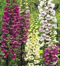 Foxglove 500 Seeds Large Clusters of Flowers in Mixed Colors