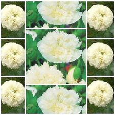 "Poppy Double Cream 100 flower seeds unusal Papaver paeoniflorum ""Peony Poppy"""