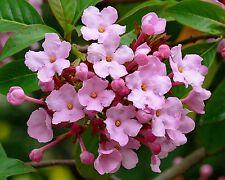 Himalaya-Schneeball•50+ Samen/seeds •Luculia gratissima rosea•jasminartiger Duft
