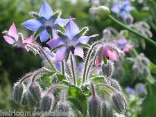 Borage herb seeds. HEIRLOOM. ***SAME DAY SHIPPING***