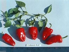 50 CHILHUACLE ROJO Prpper Seeds (Capsicum annuum) Great for drying,Salsas,Sauces