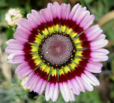 daisy, PAINTED, TRICOLOR tri color flower, 60 seeds! GroCo*