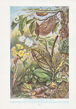 1910 NATURAL HISTORY DOUBLE SIDED PRINT ~ CHAMELEON / COLOURING OF INSECTS