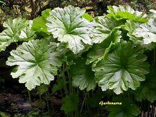 50 Graines  Darmera Peltiphyllum gigantea  , Umbrella Plant seeds