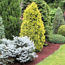6 X CONIFERS HANDY CARRY PACK MULTIPLE VARIETIES HARDY EVERGREEN PLANTS IN POT