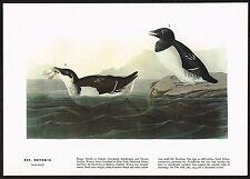 1930's Old Vintage Audubon Limited Ed. Dovekie Auk Bird Art Print