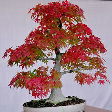 Beautiful Rare American Red Maple Bonsai Tree - 20 Fresh Viable Seeds Pot Plants