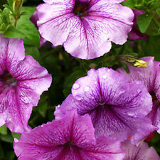 30 Pale Pinkish Purple Petunia Seed Pale Mauve Petunia Beautiful Garden Flowers