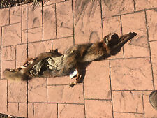 Nice Winter fur Coyote Wet TANNED SKIN/HIDE for a lifesize TAXIDERMY mount L@@K