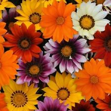 30+ Gazania New Day Mix / Ground Cover Drought-Tolerant Flower Seeds