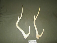 2 Axis Deer Sheds,Horn,Antler,Handle,Crafts,Decor The Wildlife Ranch  AA0429
