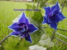 Morning Glory Ipomoea Nil Blue Picotee 10 seeds
