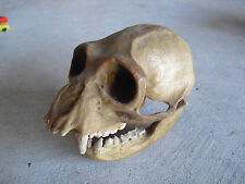 ODD Antique 1930 Plaster Male Gibbon Monkey Skull LOOK