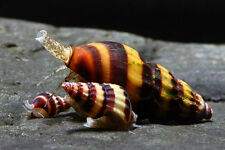 6 Assassin Snails Clea Helena Freshwater Get control of an over run snail tank