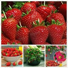 400 Toscana Strawberry Seeds Best Healthy Garden Fruit Juicy Free Shipping 1