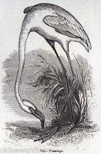 Genuino 1846 impresión Flamingo Ave Wader África América del Sur Caribe flamencos